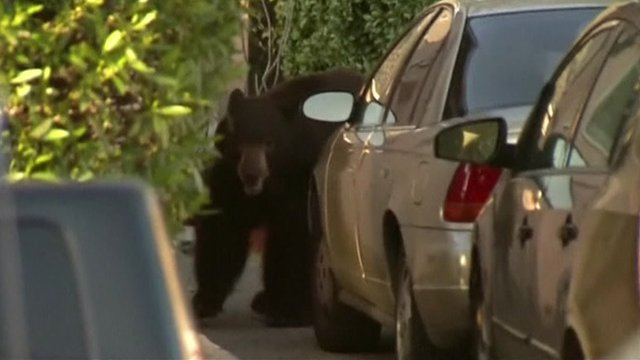 Bear in driveway