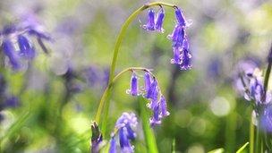 Native bluebell in flower
