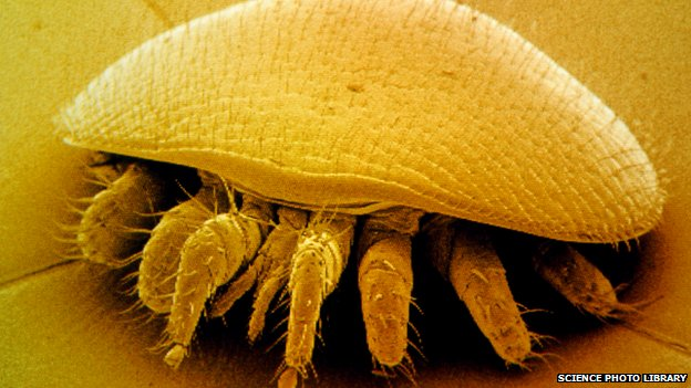 enlarged photo of a varroa mite