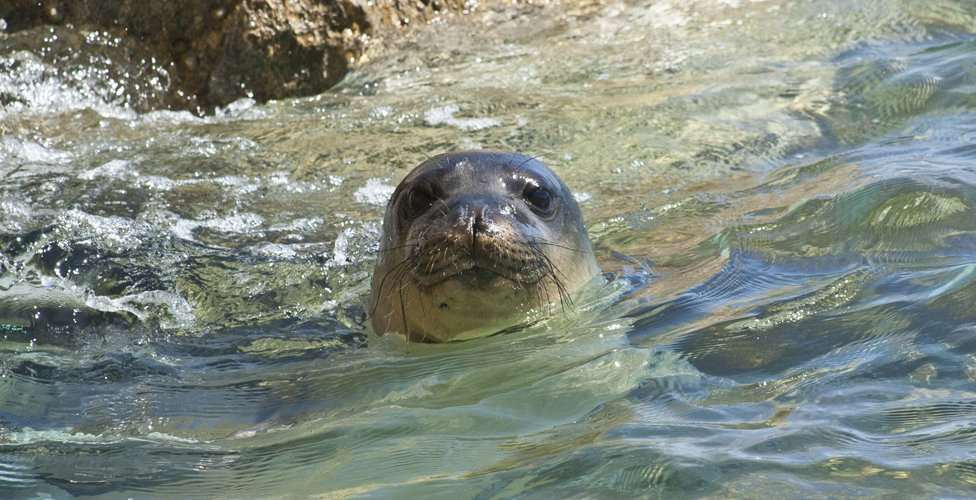 Released Mediterranean monk seal (c) MOm/Karamanlidis
