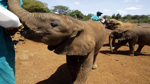 Orpaned elephants in Nairobi
