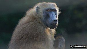 Guinea baboon (c) J Grainger