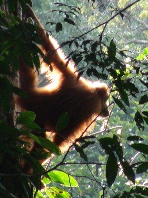 Orangutan (c) Adam van Casteren