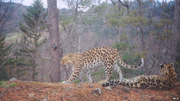 Amur leopards (c) WCS