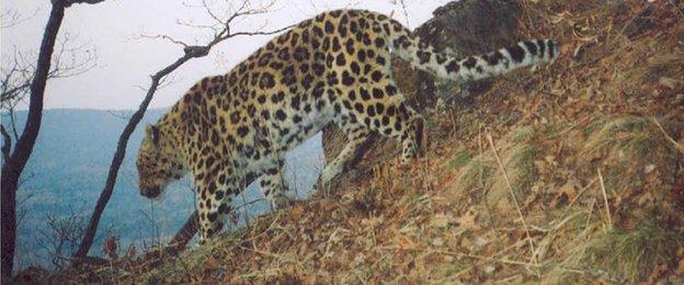Amur leopard (c) WCS