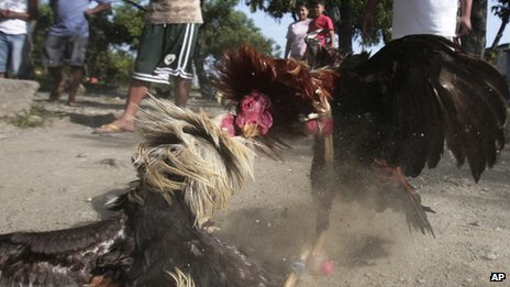 Two fighting cocks spar on the ground in suburban Navotas, north of Manila, Philippines (March 4, 2012)