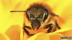 A European honey bee (c) G Du Feu