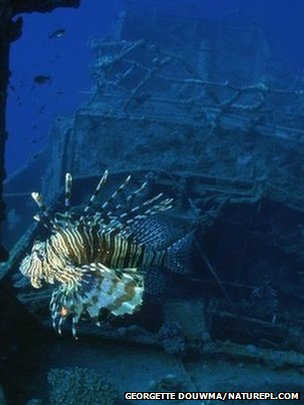 A lionfish, one of the predators that thrives around wrecks, swims past a ship the floor of the Red Sea