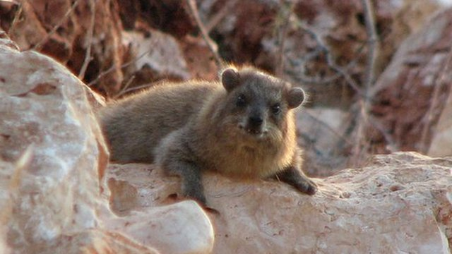 A hyrax in one of Galillee's many boulder piles (Image: Arik Kershenbaum)