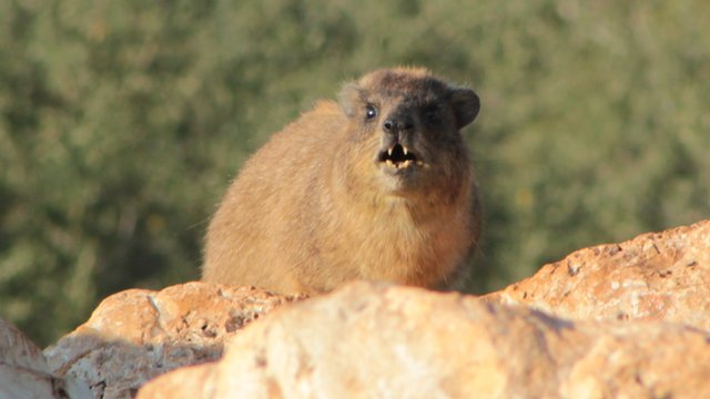Rock hyrax (Arik Kershenbaum)