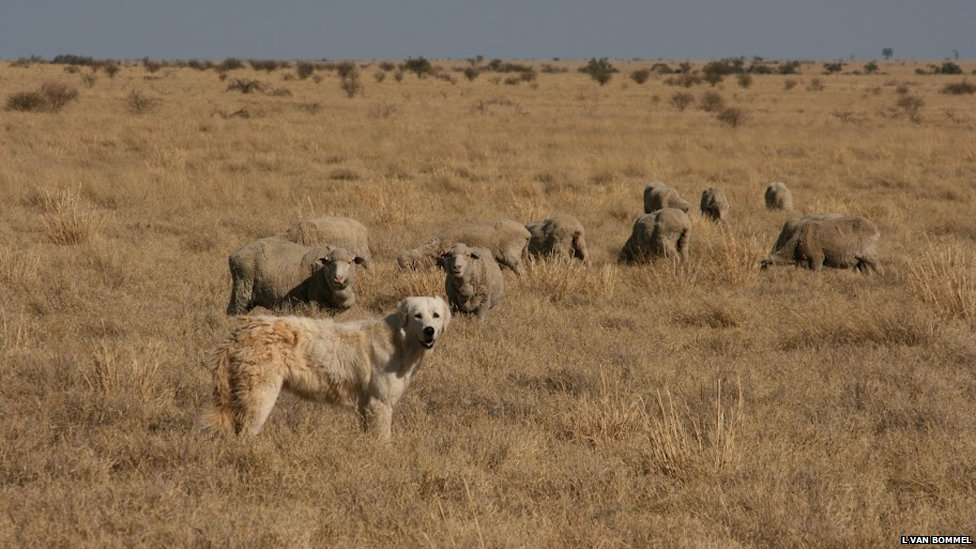 Sheep Guard Dogs