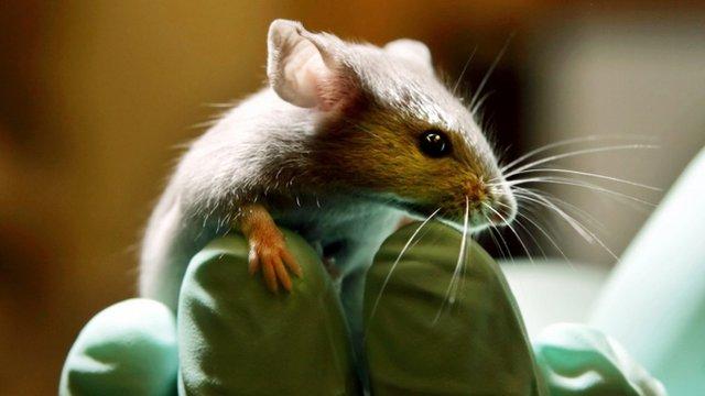 A laboratory mouse