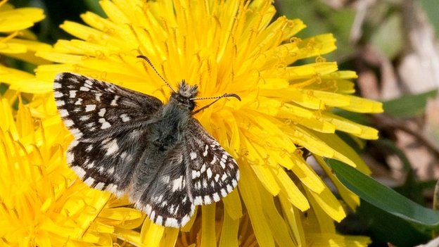 Grizzled Skipper (c) Peter Eeles