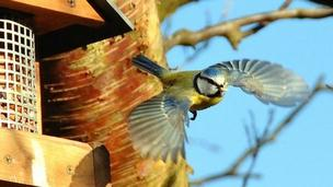 Blue tit flying from bird feeder (c) Christopher Hoyle
