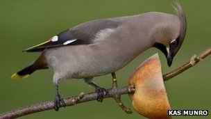 Waxwing feeding on apple on stick (c) Kas Munro