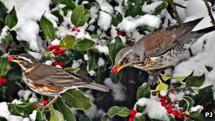 Redwing and fieldfare eating holly berries with snow