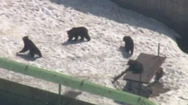 Some of the remaining bears inside their pen