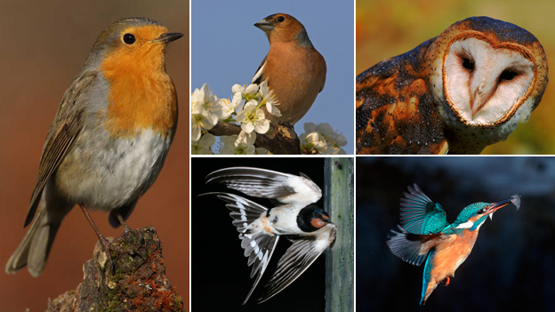Robin (c) R P Santana; chaffinch, barn, owl, barn swallow, kingfisher