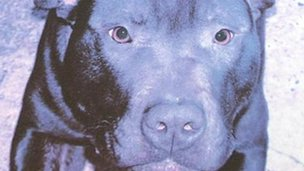 Lennox, the pit bull