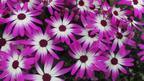 Senetti Magenta Bicolour in bloom
