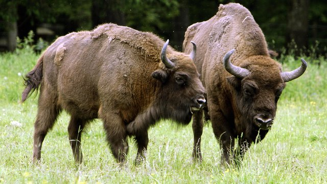 Bison in Poland's Bialowieza primeval forest