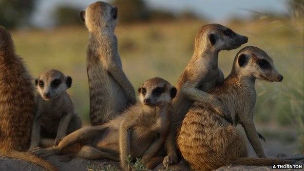 Meerkat group near burrow (Image: Alex Thornton)