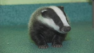 Bracken the badger