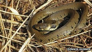 The harmless grass snake is Britain's longest snake
