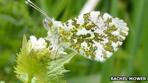 Butterflies such as this orange tip love nettles