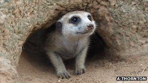 Meerkat emerging from sleeping burrow (Image: Alex Thornton)