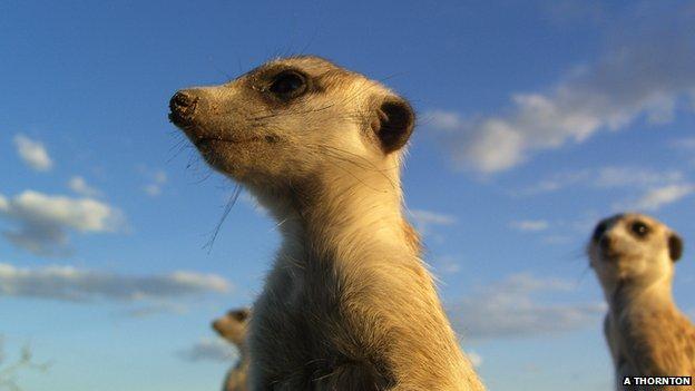 Meerkat (Image: Alex Thornton)