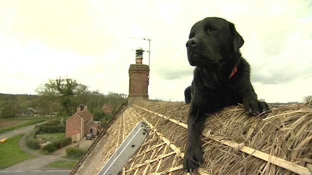 A large, black labrador-rottweiler crossbreed sits on top of a thatched roof lazily.