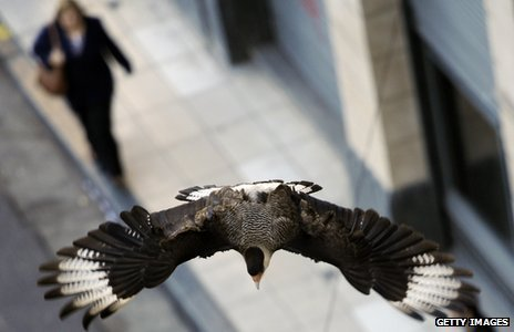 A caracara flies over a street in downtown Buenos Aires
