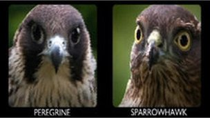 Sparrowhawk and a peregrine