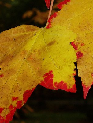 Autumnal Acer leaves (Image: BBC)
