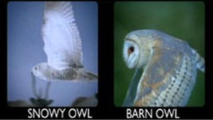 Snowy and barn owl