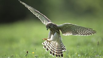 Kestrel with talons out coming to land on prey