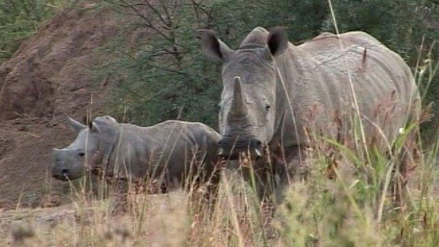 South African rhinos
