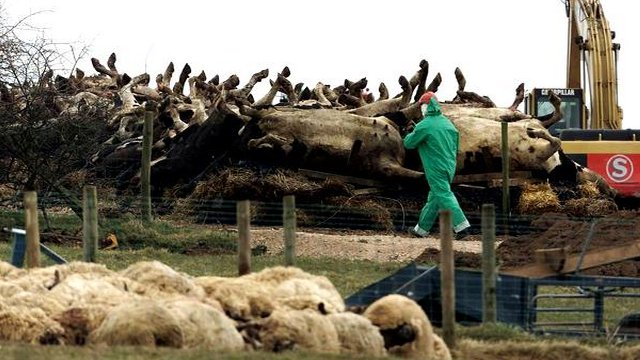 Carcasses of slaughtered livestock during 2001 foot-and-mouth outbreak in UK