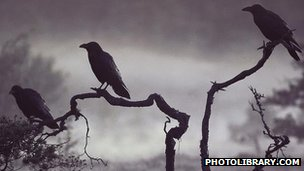 Common crows (c) photolibrary.com