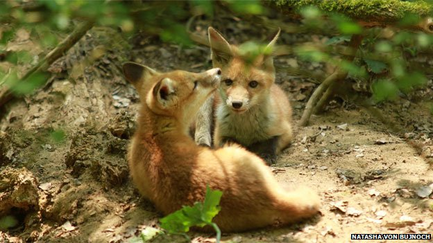 Young foxes (c) Natasha Von Bujnoch