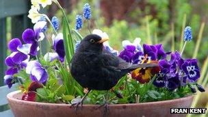 Bbc nature garden bird secrets revealed for Blackbird designs english garden