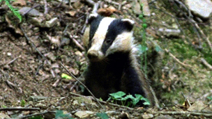 Badger emerging from sett
