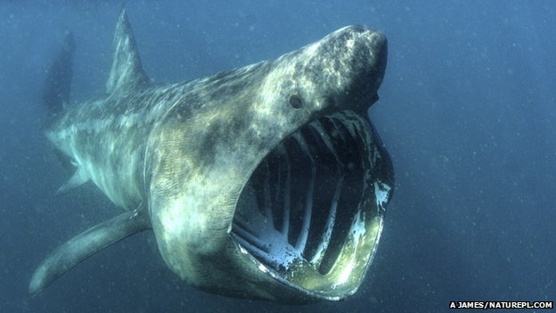 Basking shark (c) Alan James/ naturepl.com