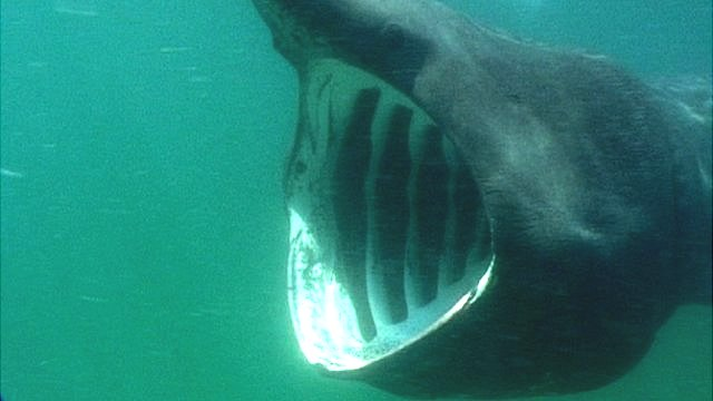 BBC Blue Planet basking shark David Attenborough (c) BBC
