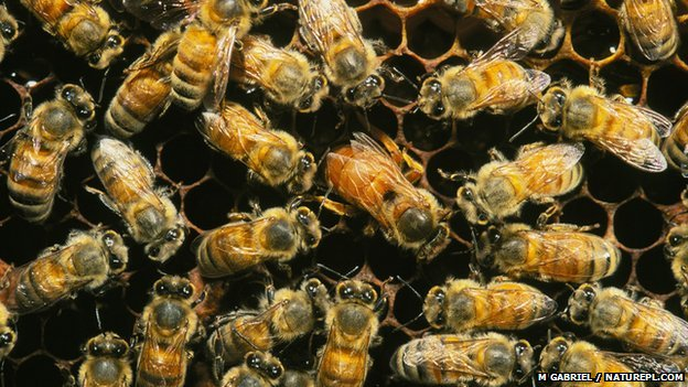 Honey bees attend a honeycomb (c) M Gabriel / naturepl.com