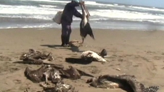 Dead pelicans on the beach