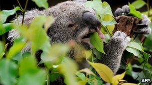 File photo: Koala in Australia
