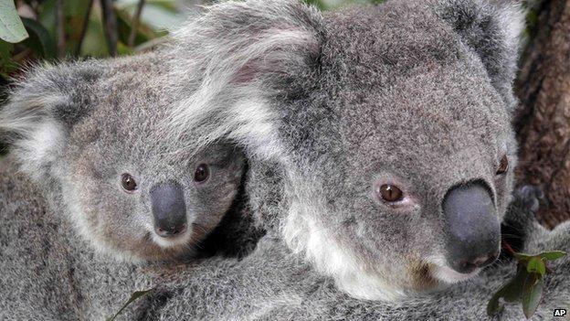 Koala numbers drop in parts of australia cbbc newsround - Koala components ...
