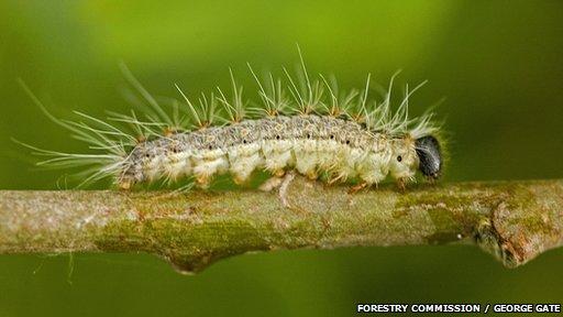 Oak processionary moth larvae